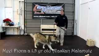 "Alaskan Malamute ""fiona"" Obedience Training With Off Leash K9 Training Columbia"