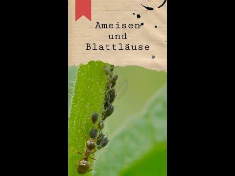 Blattläuse und Ameisen - Eine perfekte Symbiose #shorts
