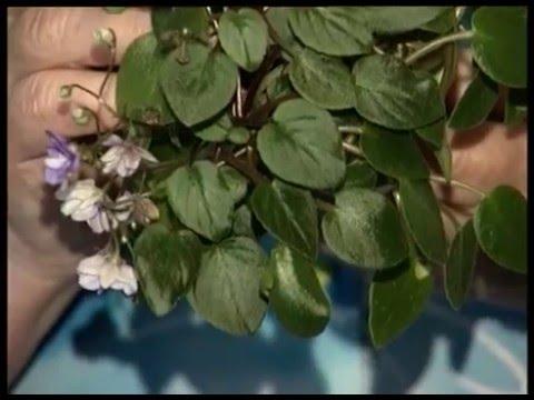 Узамбарская фиалка описание и особенности выращивания