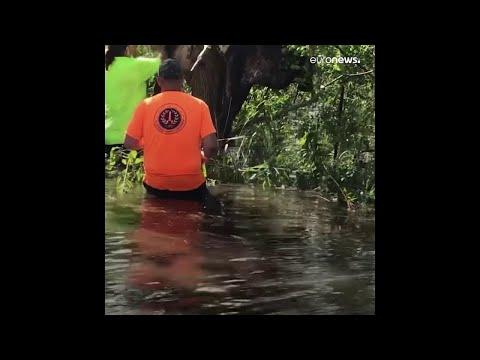 Una vaca atrapada en un árbol por las inundaciones en Luisiana