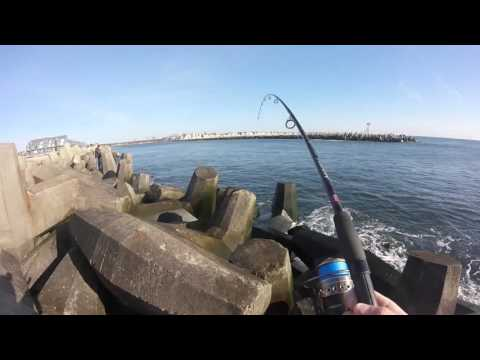 Blue Fish In The Manasquan Inlet Point Pleasant NJ 4/21/2016