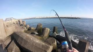 blue fish in the manasquan inlet point pleasant nj 4 21 2016