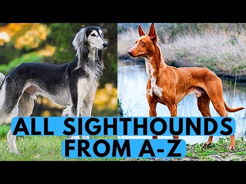 All Sighthounds Dog Breeds List (from A to Z)