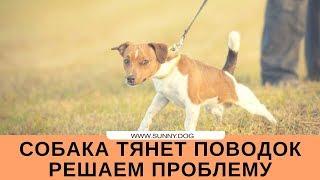 Собака тянет поводок. Почему? Часть 1 - Находим причины
