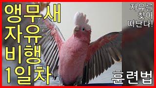 앵무새 자유비행 훈련 …