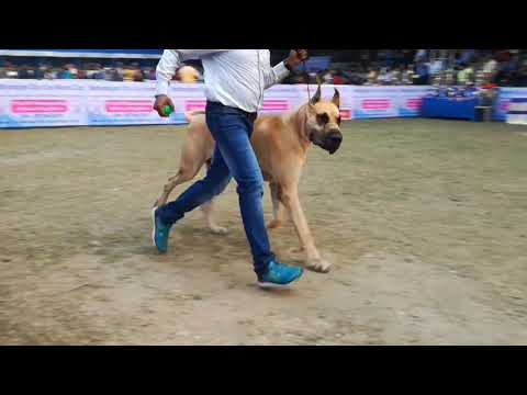 Great Dane Dog show in Kolkata 2019 | Biggest Great Dane in The World