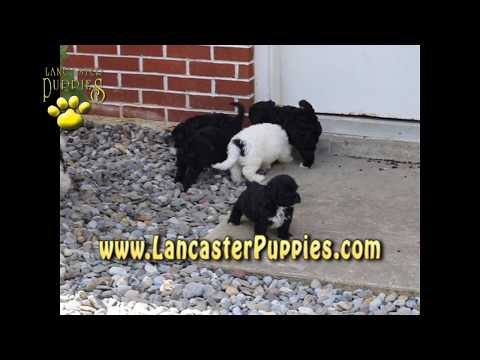 Portuguese Water Dog Hybrid Puppies