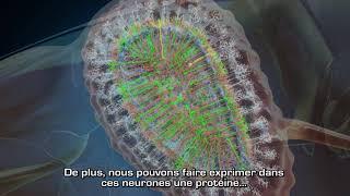 Cellules souches et neurogenèse adulte