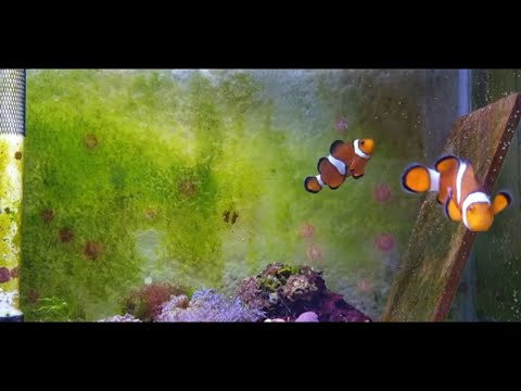 Baby Clownfish Have Hatched
