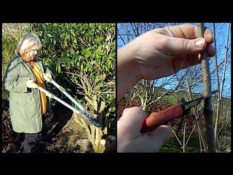 Easy Sambucus / Elder Pruning - annual prune & rejuvenating pruning