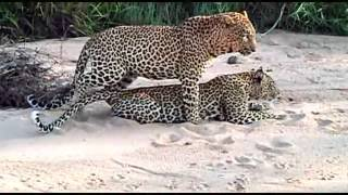 Sex In The Wild  Leopards Mating   Big Cats in Africa