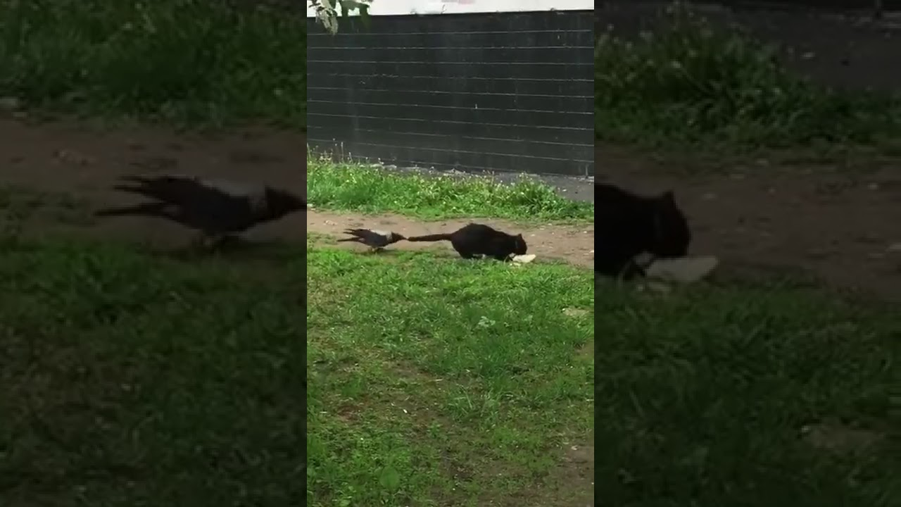 crow bites cat u0027s tail youtube