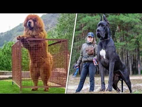 Вопрос: Какие собаки живут дольше – маленькие или большие И почему?