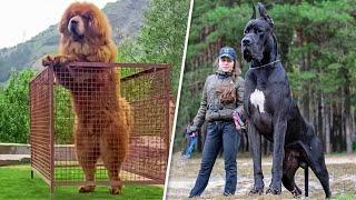 Топ 5 самых больших собак в мире.  Интересные факты о собаках