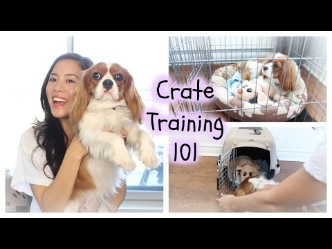 How To Crate Train | Herky the Cavalier | Cavalier King Charles Spaniel