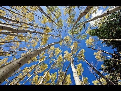1 Hour in a Healing Aspen Forest w/ Nature Sounds 1080p Pure
