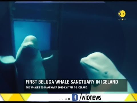 First beluga whale sanctuary in Iceland; whales from China set off for a new home