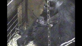 Baby gorilla born at Tokyo zoo