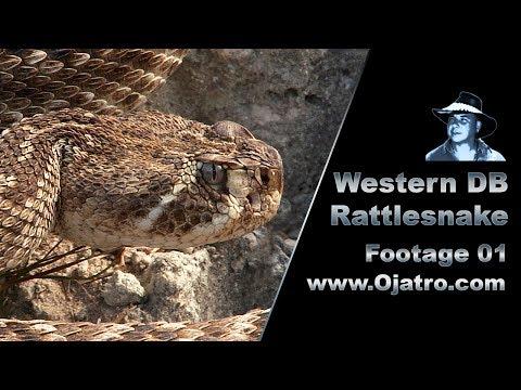 Western Diamondback Rattlesnake 01 Stock Footage