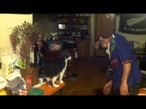 manx cat doing tricks (bear)