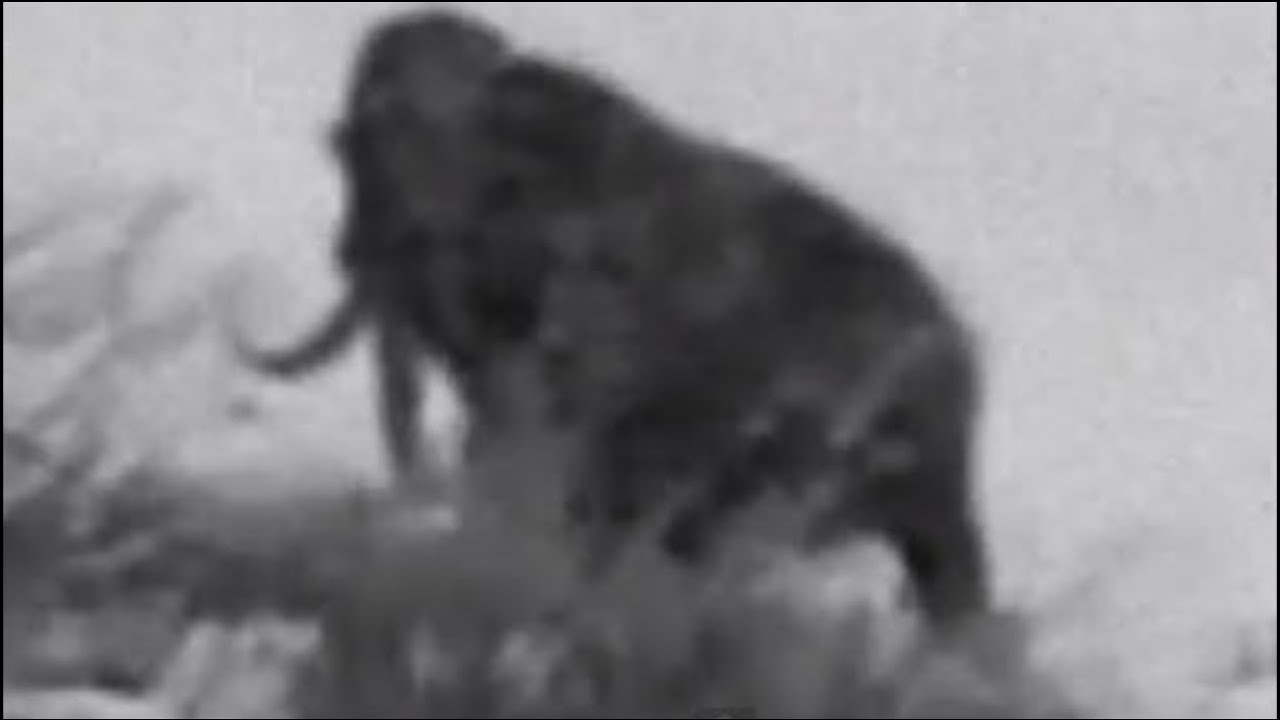 WOOLLY MAMMOTH CAUGHT ON TAPE | COULD THEY STILL BE ALIVE