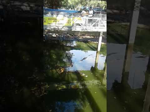 Crocodile Feeding, Sri Racha Tiger Zoo, Pattaya, Thailand