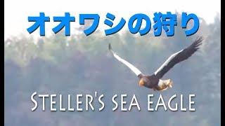 野鳥動画・オオワシの狩り「ワシづかみ」涸沼・野鳥観察・野鳥撮影 ・Steller's sea eagle