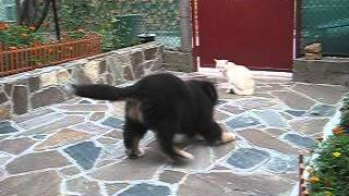 Ozzy Bernese Mountain Dog Puppy first meeting with cat