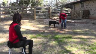 Kyle, Lab, Episode 18 (fear Aggression, Fearful Of Men) - Sit Up N Listen Dog Training