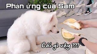 Chó Samoyed ăn sầu riêng được không ? (Reaction samoyed dog with durian)