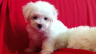 Maltese Puppy For Sale - 2 Months, Pf35545 From Kuala Lumpur