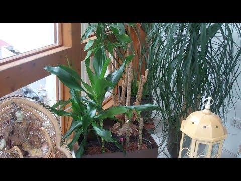 drachenbaum schneiden und vermehren lilo siegel youtube. Black Bedroom Furniture Sets. Home Design Ideas