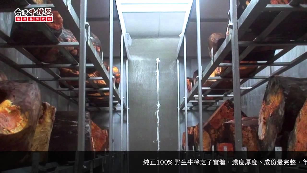 臺灣牛樟芝-真菌栽培植育技術 - YouTube