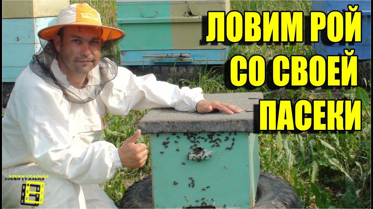 ловля роев пчел на пасеке