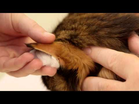 Home blood glucose testing for your cat