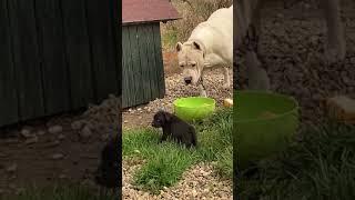 Dogo Argentino & baby Cane Corso🤭
