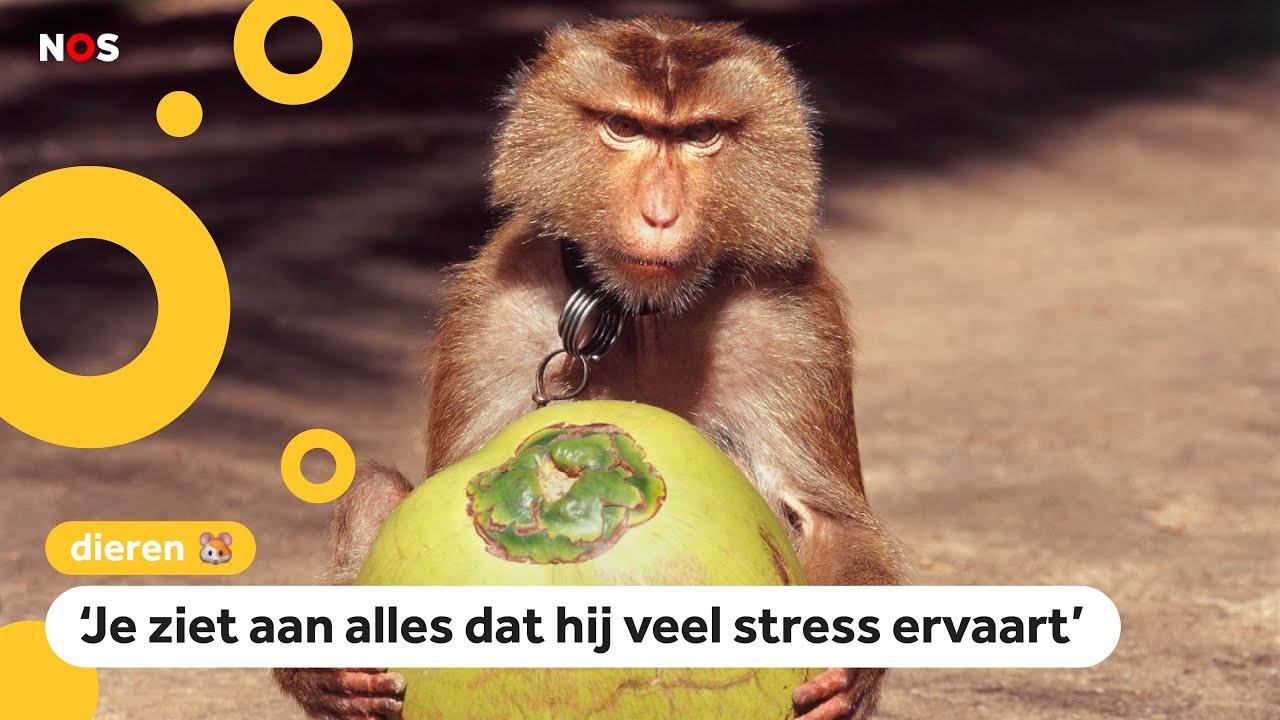 Gedoe over apen die kokosnoten moeten plukken