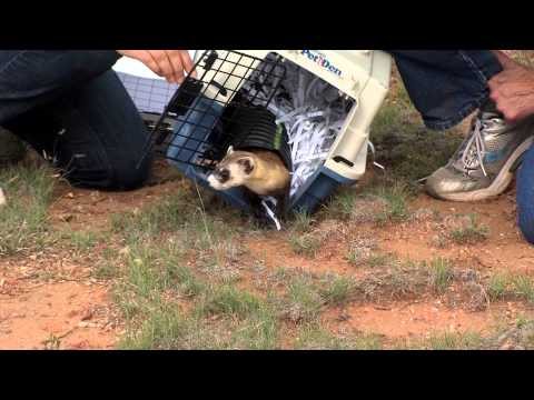 Historic Release of Endangered Black-footed Ferrets