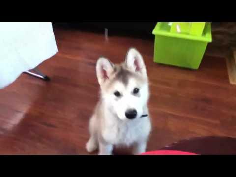 Cute malamute puppy doing tricks