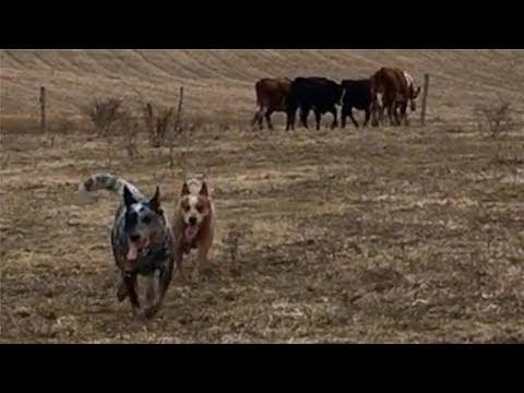 Heelers learning to herd | Australian Cattle Dogs