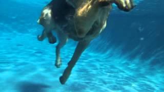 German Shepherd Bryson Swimming - Underwater View
