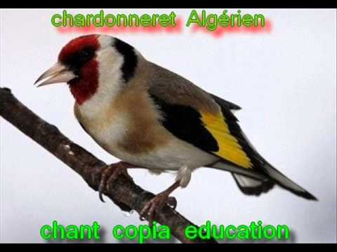 copia chardonneret mp3