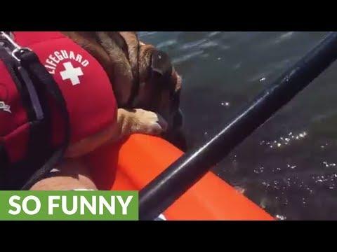 English Bulldog Kisses Wild Manatee