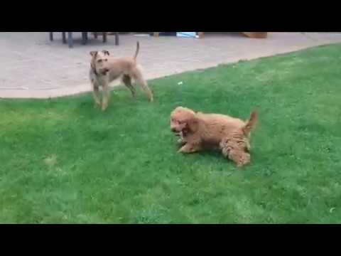 Irish Terrier and Poodle Puppy