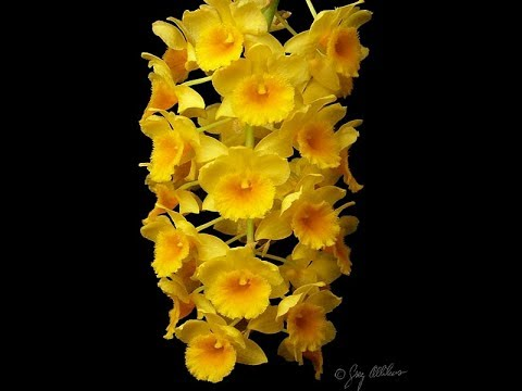 Growing Dendrobiums (Florida Orchid Growing Part 5)