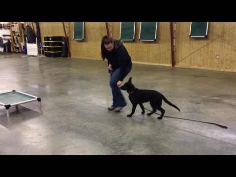 Black German Shepherd 'Haven' 18 Wks Puppy Obedience Personal Protection Dog Development For Sale