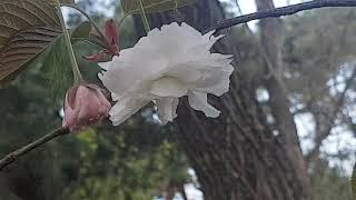 한국야생화15.겹벚꽃나무.#효능약효#꽃말