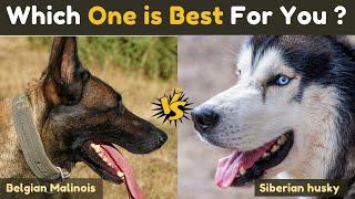 Belgian Malinois vs Siberian husky - comparison Between Two Dogs