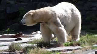 Tierpark Berlin: Polar Bear. Зоопарк Берлин: белые медведи