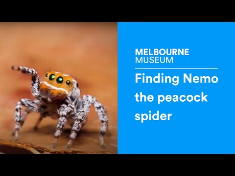 Finding Nemo the peacock spider
